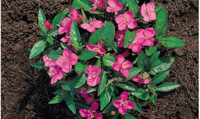 Oenothera Kunthiana Glowing Magenta Wholesale Seeds